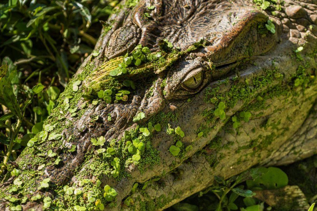 Lewis Abulafia - Zambia Alligator