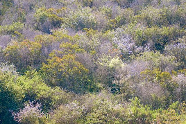 Wild cucumber flowers amidst Ceanothus and Laurel Sumac, Daley Ranch, Escondido