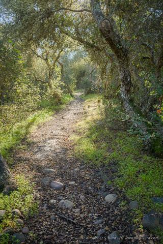 Trail through old-growth Scrub-oak chaparral.