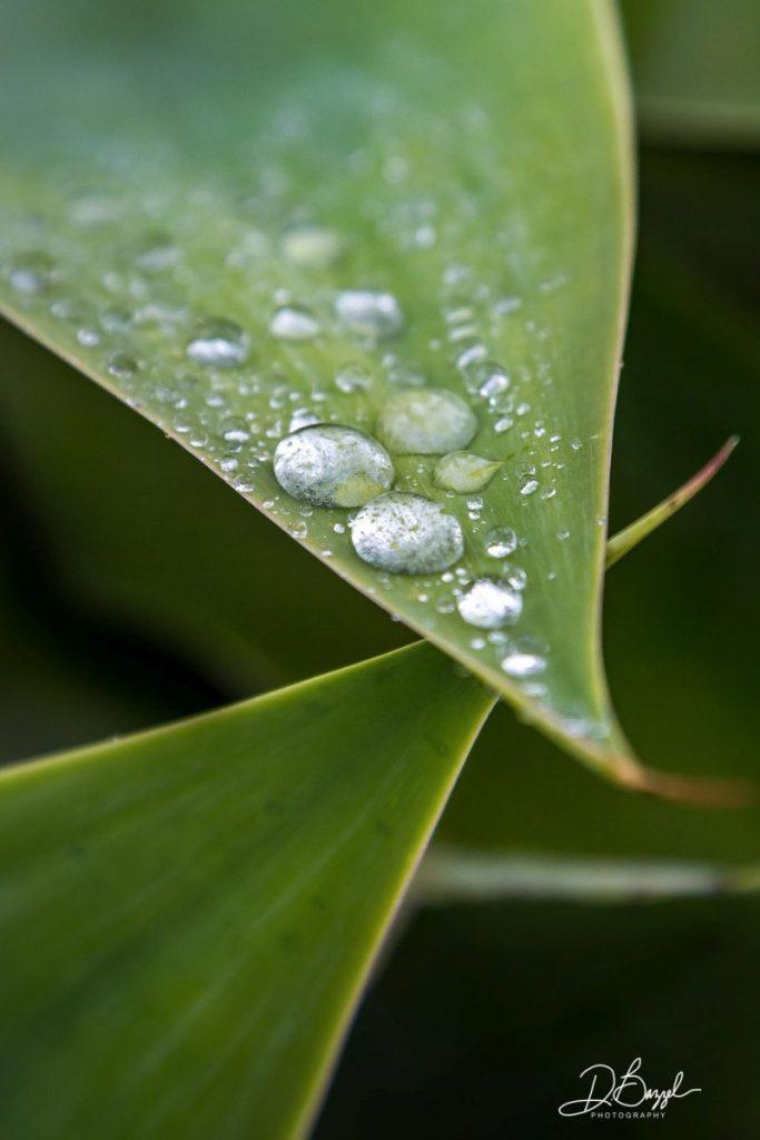 Duane Bazzel - Raindrops on Succulent