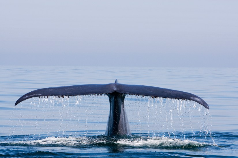 Blue Whale tail fluke (C) Richard Herrmann Photography