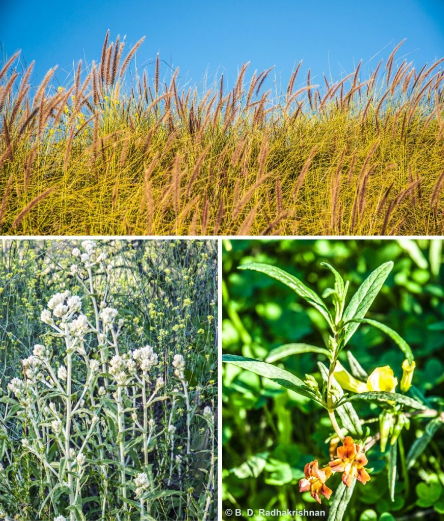Ben Radhakrishnan - Miramar Lake Shrub Growth Collage (non native pampas gras, Everlasting, Monkey Flowers)