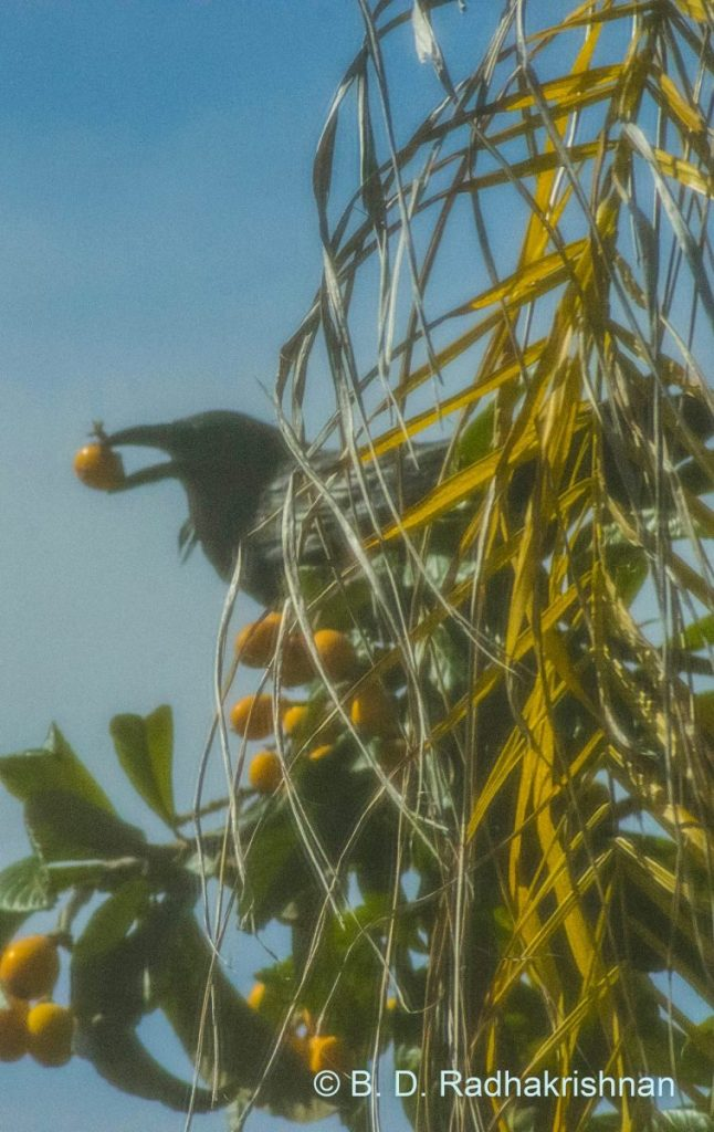 Ben Radhakrishnan - Palm Tree Branch-obstacle preventing a clear picture of the crow with Loquat fruit in its mouth_DSC_0109_BDR