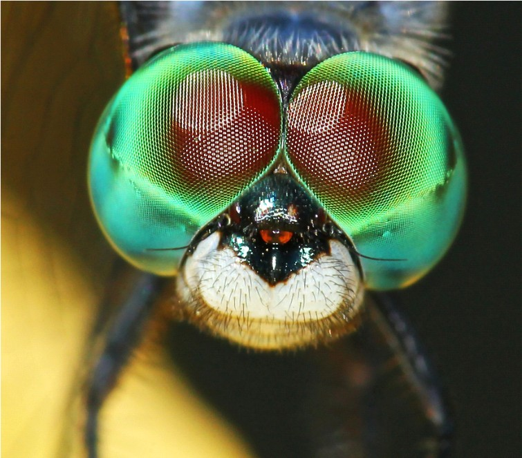 Dragonfly Eyes (C) Steve Cirone