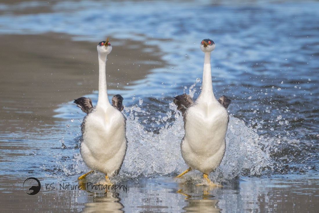 Rushing Grebes, Lake Hodges (c) KS Nature Photography