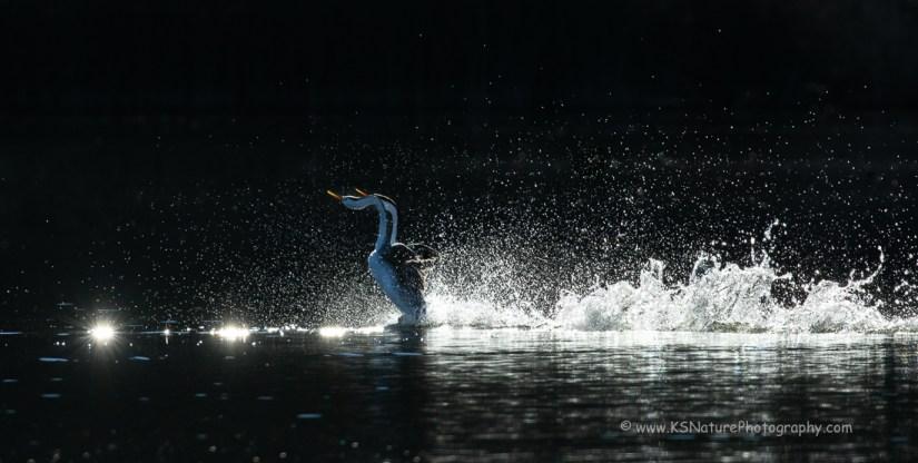 Backlit Rushing Grebes, Lake Hodges (c) KS Nature Photography