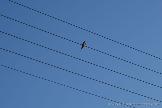 Lines in the sky: powerlines and bird