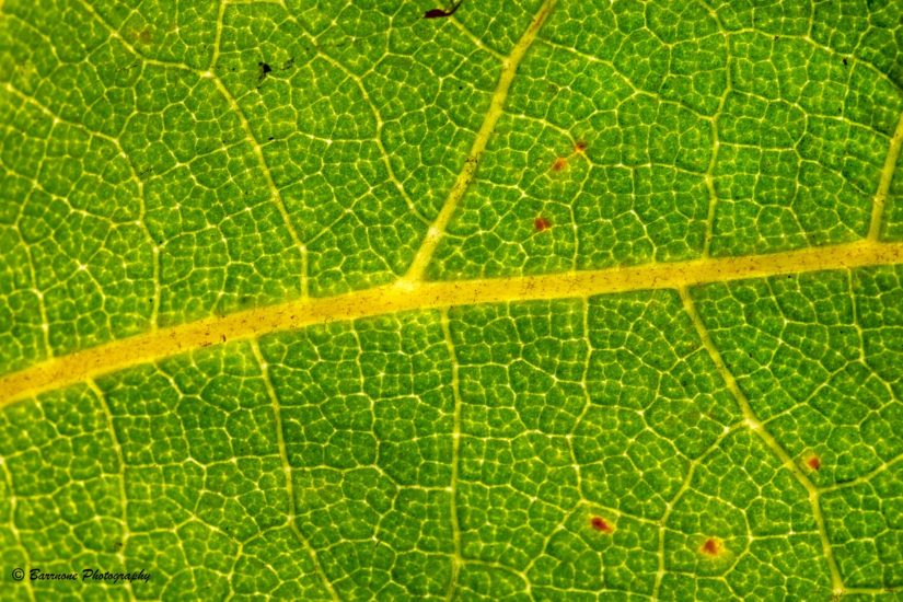 Rick Barr - Lines of Life, Sycamore Tree Leaf