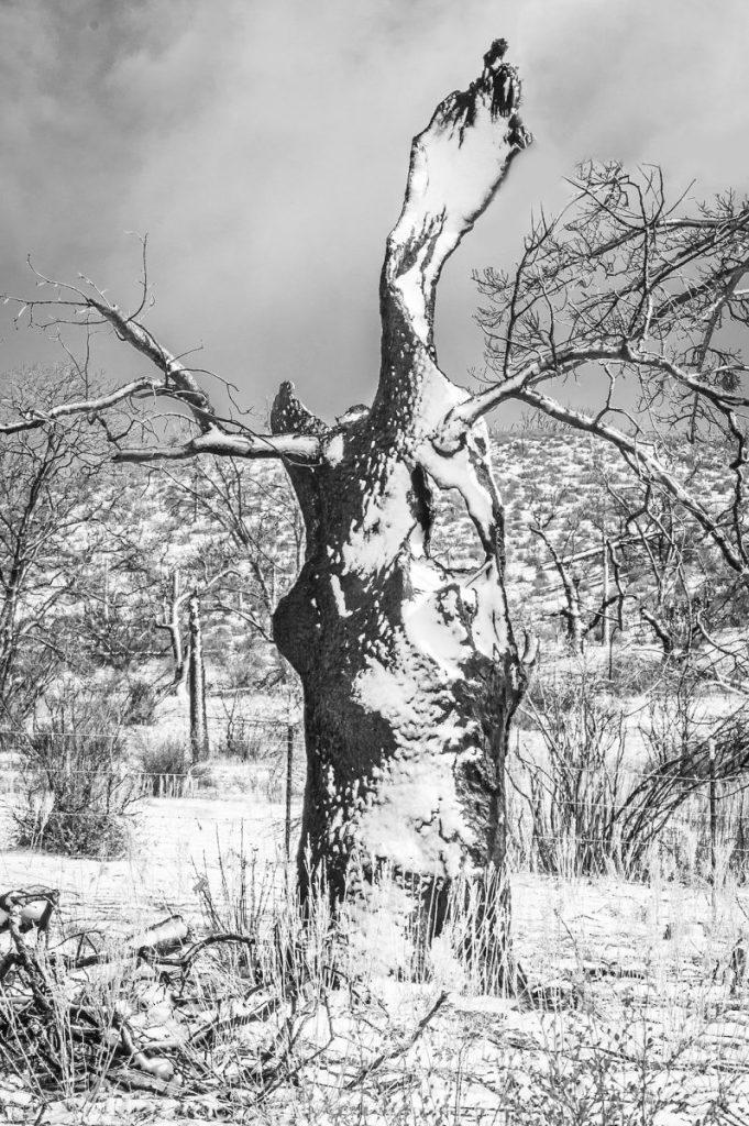 Janie Anderson - Snowy Snag, Cuyamaca Rancho SP, 2005