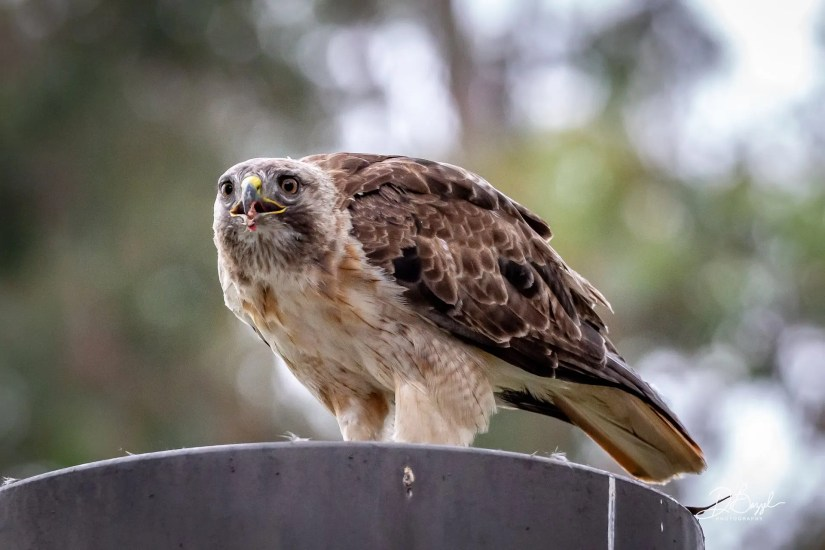 Duane Bazzel - Backyard Redtail Visitor