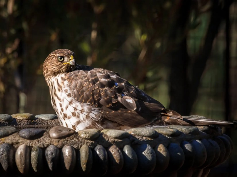 Janie Anderson - Bath Time (Juvenile Coopers Hawk)