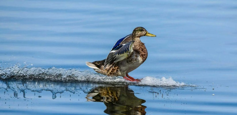Randy Siegel - Water Skiing Duck