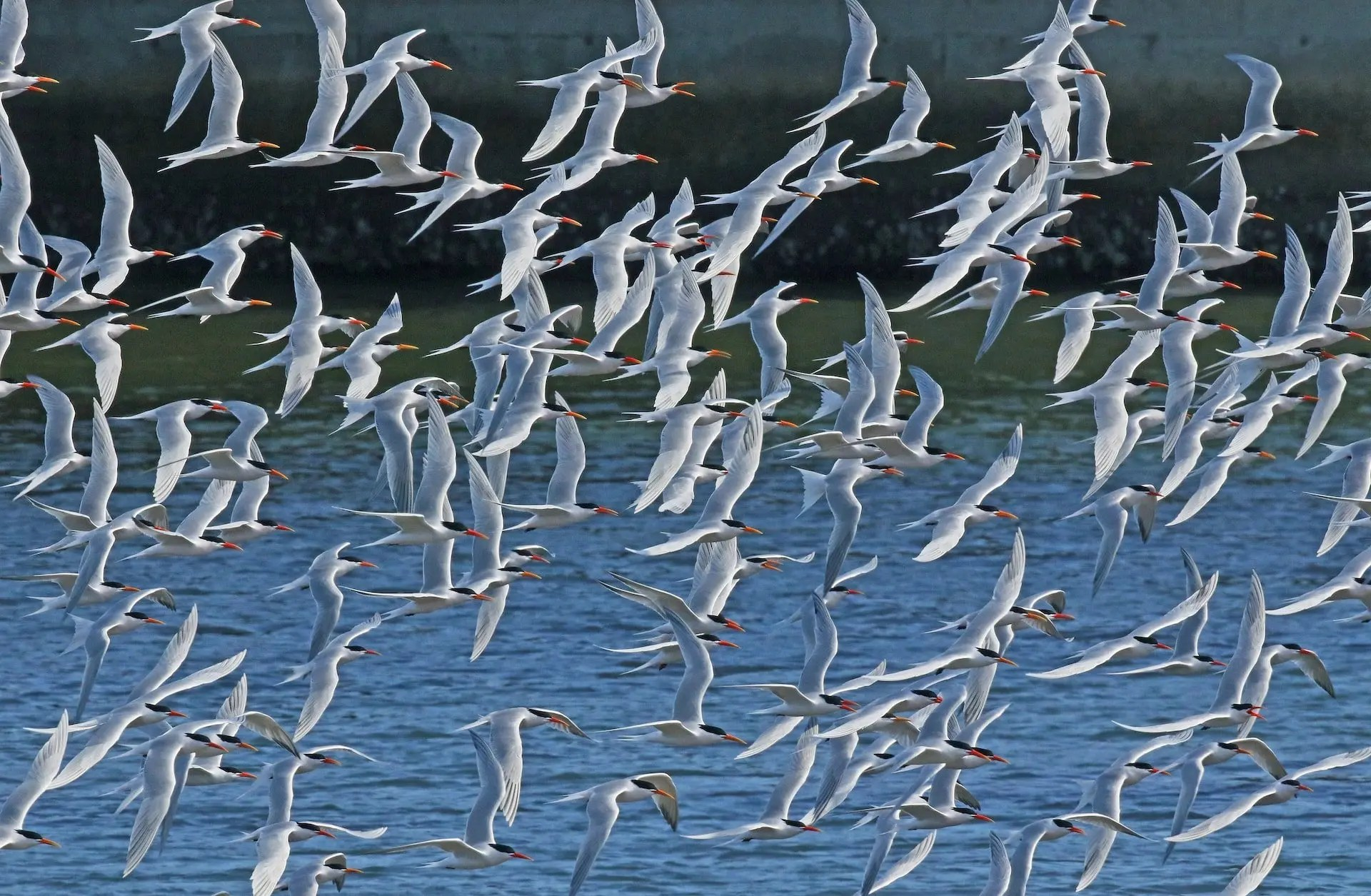 Budd Titlow - Elegant Terns in Flight