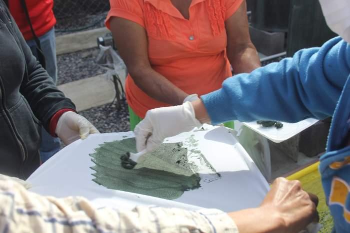 Cosecha de alga. Granjas de alga espirulina