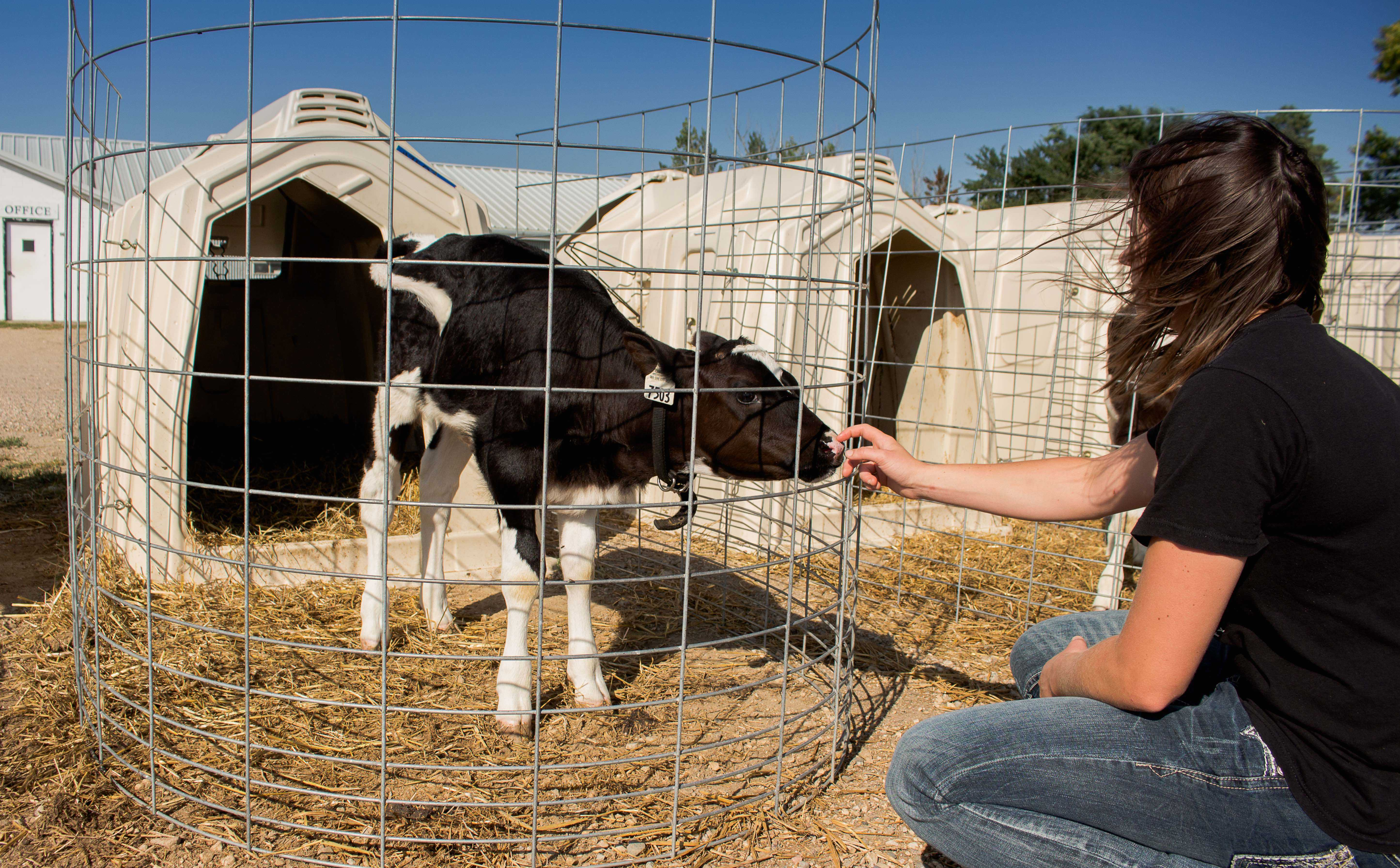FRANKIE HERRERA Chelsea Schossow, a graduate research assistant, works with a calf at the Dairy Research and Training Facility Sept. 22. The facility holds about 300 head of cattle, including calves and lactating cows.