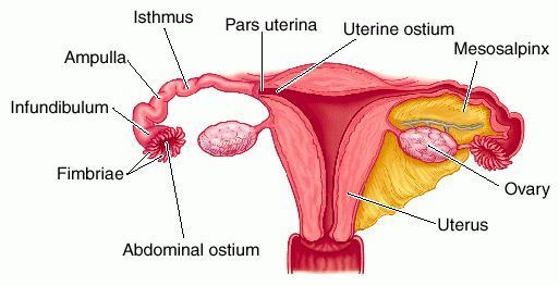 The Fallopian Tube in the 21st Century: When Why and How ...