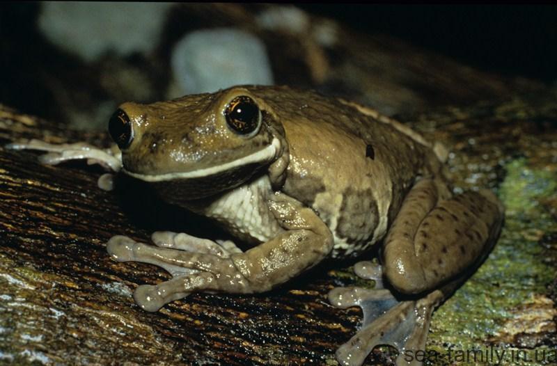 Краснопятнистая жабовидная квакша. Интересный экземпляр – присоска.