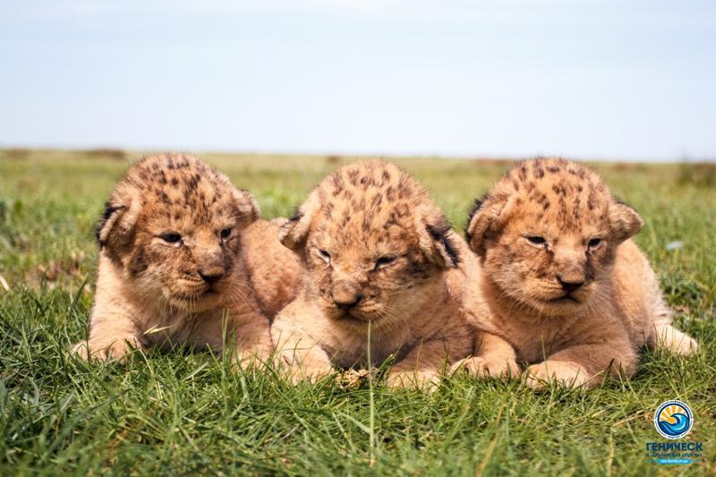 Сафари-парк на Арабатской стрелке впервые показал новорожденных львят (ФОТО, ВИДЕО)
