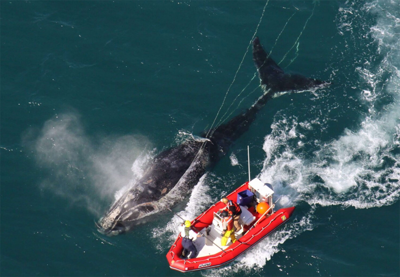 Mainers Guarding Right Whales
