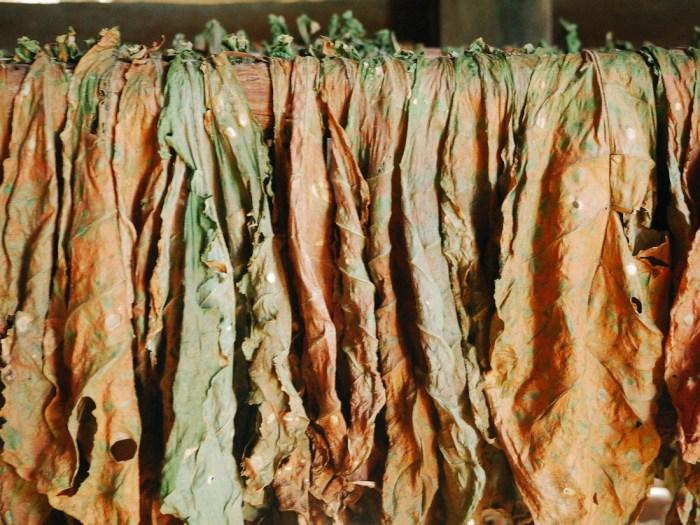 séchage de feuilles de tabac à vinales
