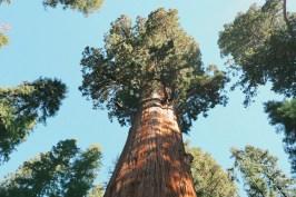 sequoia géant californie