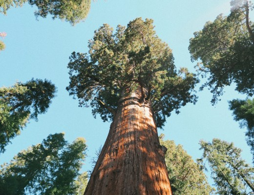 sequoia géant californie