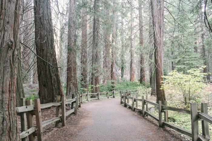 allée de sequoias géants