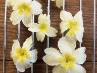 crystallized primroses