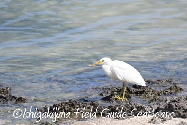7月30日 石垣島 バードウオッチング&野鳥撮影1