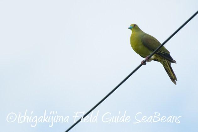 7.22-石垣島 野鳥 バードウオッチング 撮影ガイド8