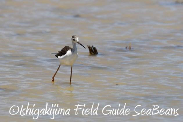 7.20 石垣島 野鳥撮影 バードウオッチング8
