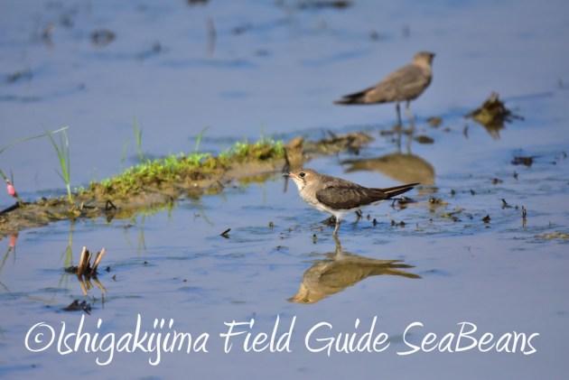 7月28日-石垣島 バードウオッチング 野鳥1
