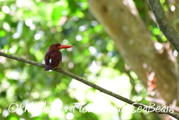 7.20 石垣島 野鳥撮影 バードウオッチング4