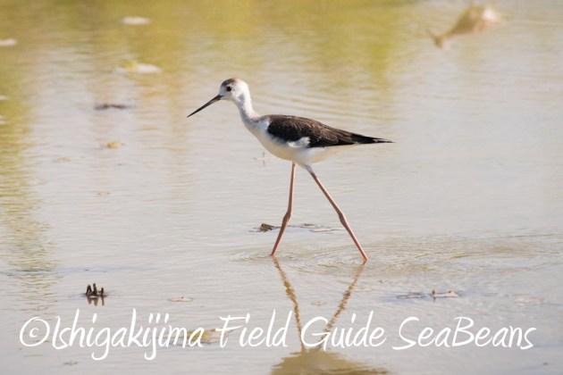 7.22-石垣島 野鳥 バードウオッチング 撮影ガイド1
