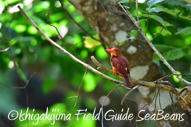 7月28日-石垣島 バードウオッチング 野鳥10