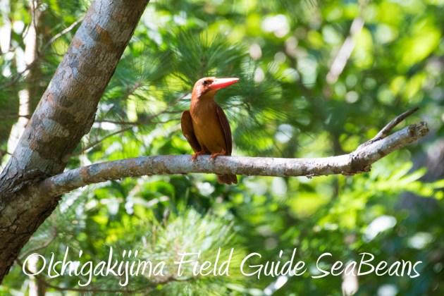 7.22-石垣島 野鳥 バードウオッチング 撮影ガイド12