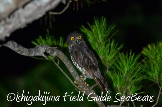 7.21石垣島 ナイトツアー 夜の野鳥撮影1