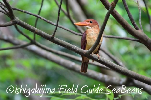 7月30日 石垣島 バードウオッチング&野鳥撮影10