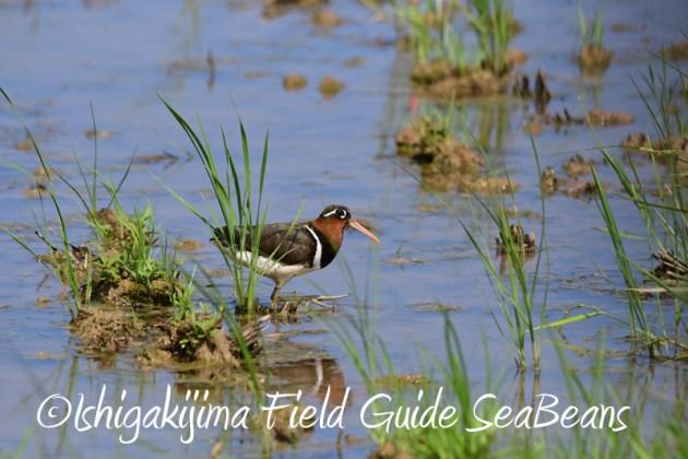 7月29日 石垣島バードウオッチング&野鳥撮影16
