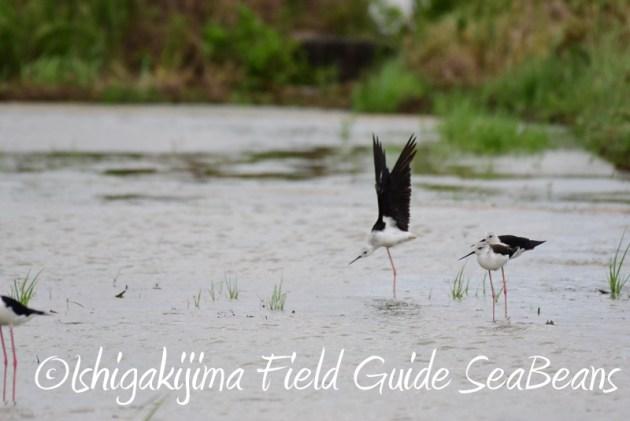 8月6日 石垣島の野鳥 バードウオッチング8