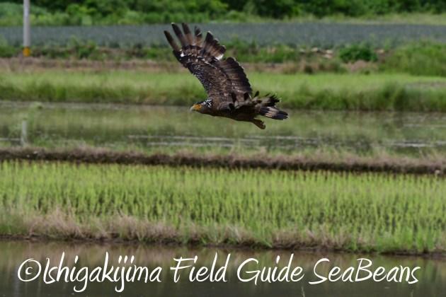 8月12日石垣島バードウオッチング&野鳥撮影10