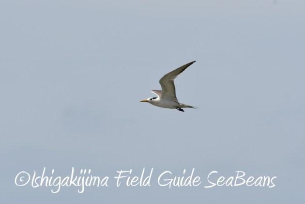 8月11日石垣島バードウオッチング&野鳥撮影12