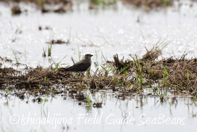 8月1日 石垣島 バードウオッチング 野鳥撮影7
