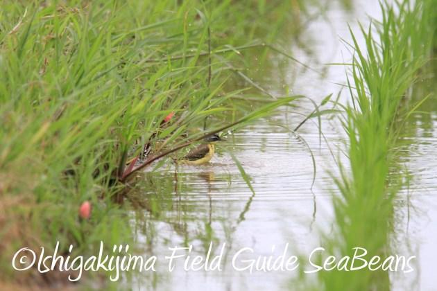 8月31日石垣島バードウオッチング&野鳥撮影7