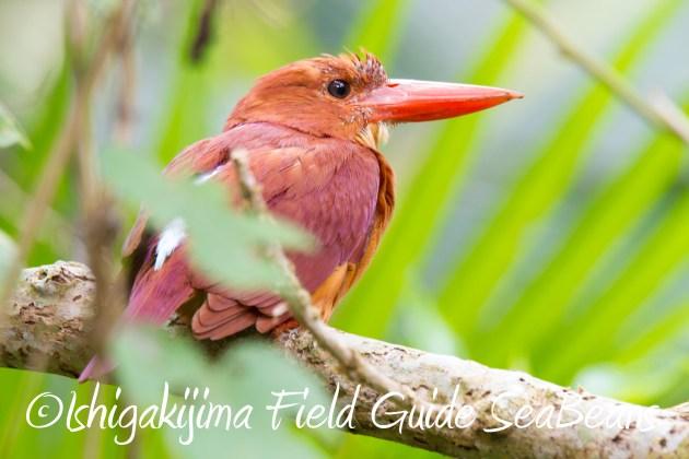 8月31日石垣島バードウオッチング&野鳥撮影17