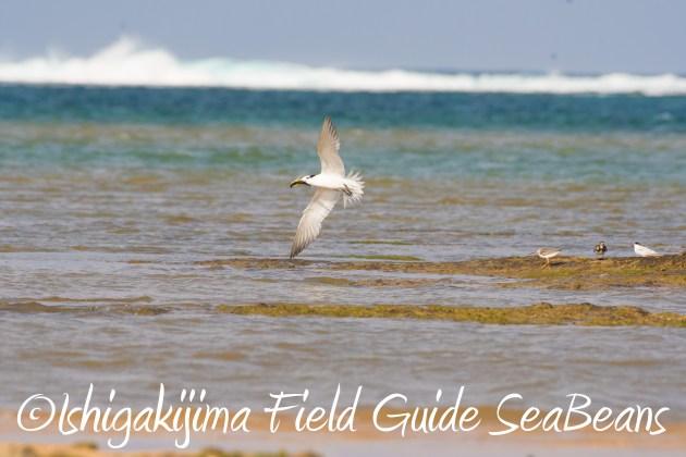 8月25日石垣島バードウオッチング&野鳥撮影ガイド3