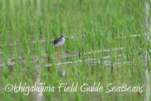 8月25日石垣島バードウオッチング&野鳥撮影ガイド11