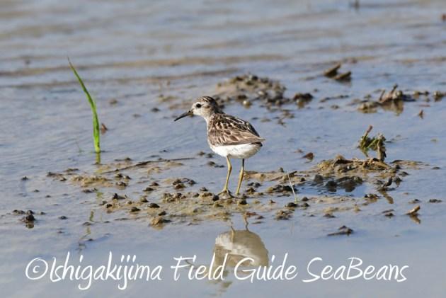 8月2日石垣島 バードウオッチング 野鳥撮影10