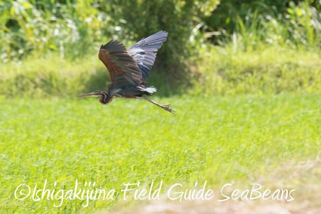 8月27日石垣島バードウオッチング&野鳥撮影7