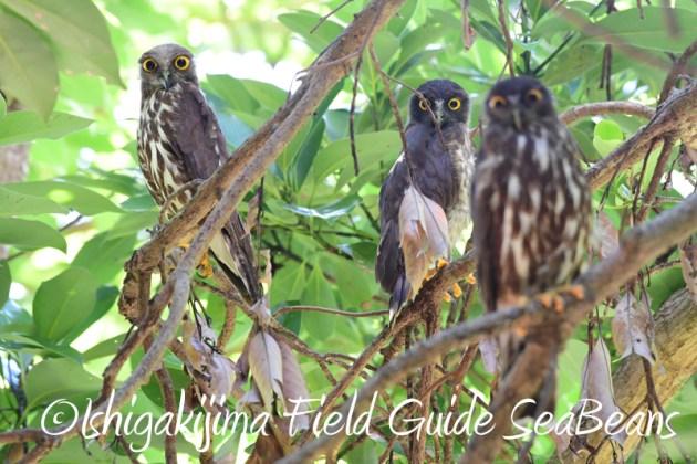 8月8日石垣島 バードウオッチング&野鳥撮影9